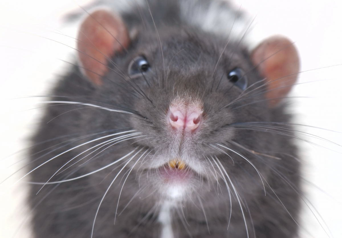biggest rat ever
