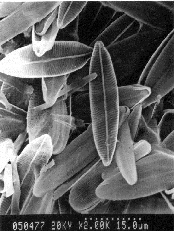 Diatom algae