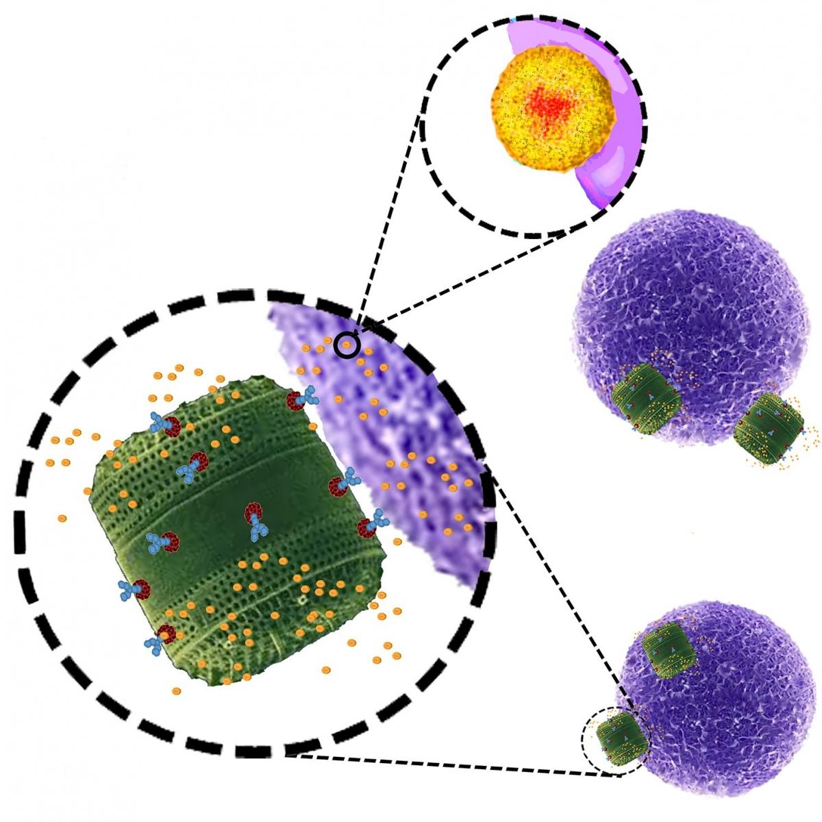 Genetically engineered diatom biosilica