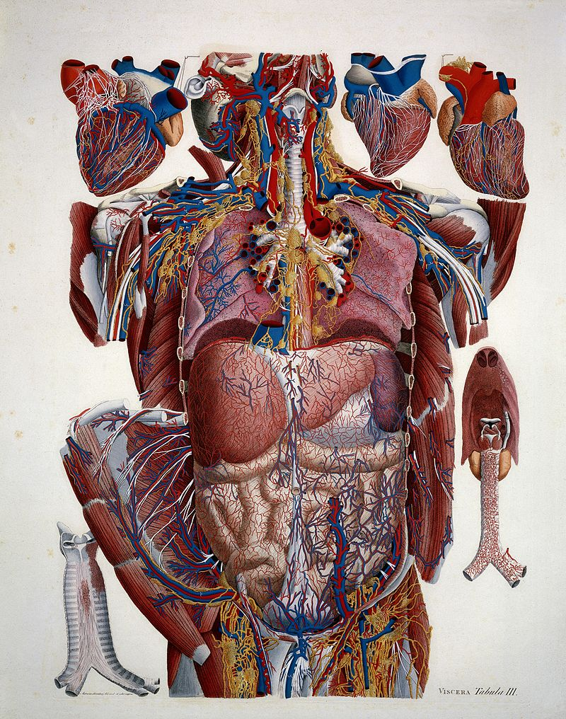 Illustration of human viscera