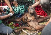 Rescued orangutan