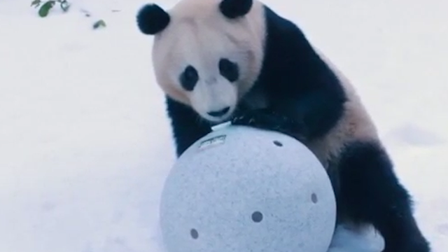 Giant pandas in the snow