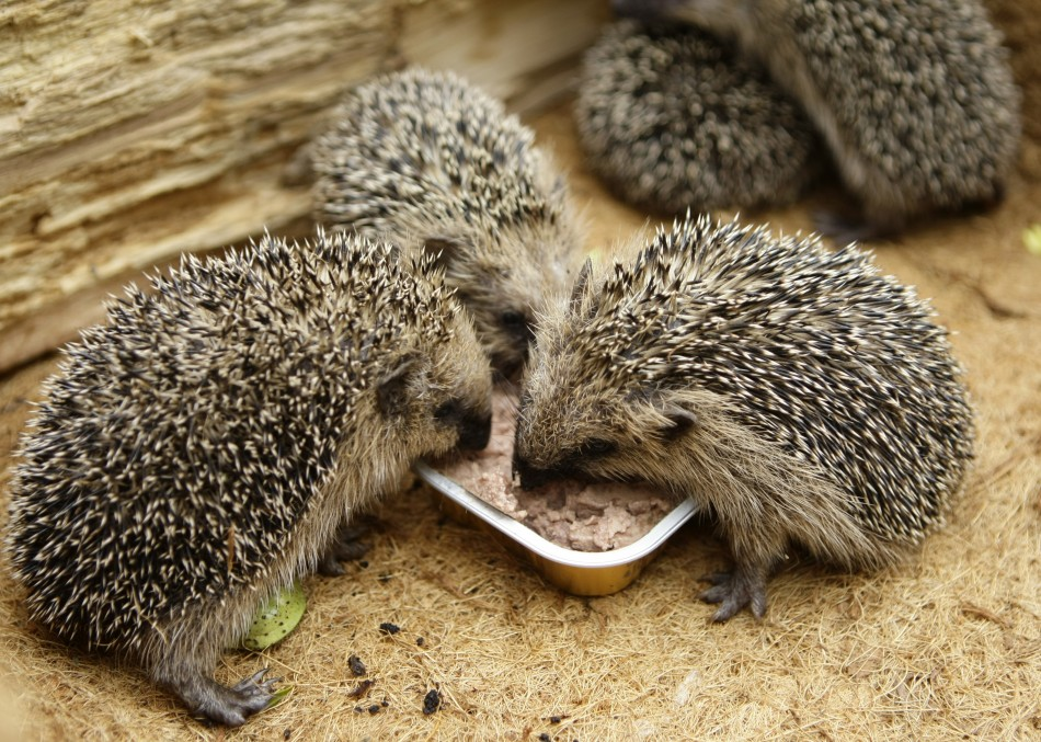 Five two-months old hedgehogs eat cat food in a garden where they were found last week in Gelsenkirchen
