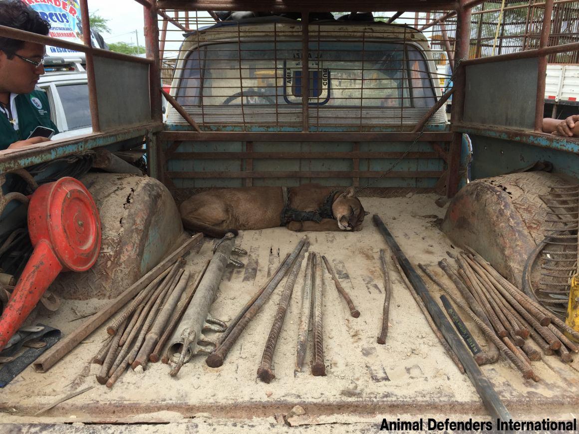 Last Peruvian circus animal freed