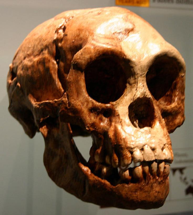 Homo floresiensis hobbit
