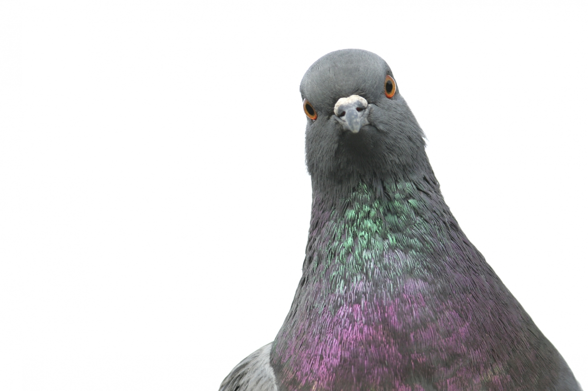 What You Should Know About Pigeons This Year