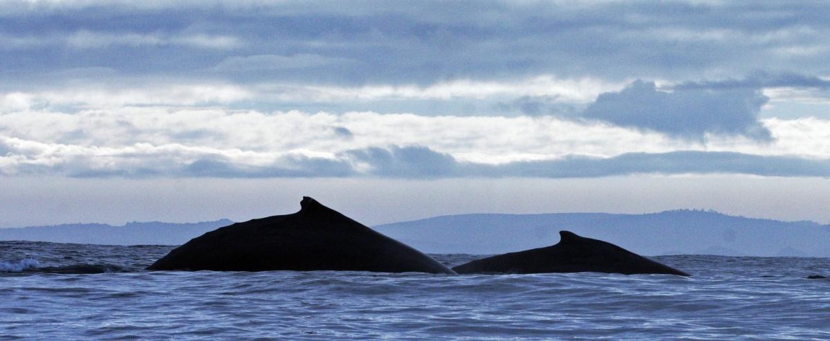 Sei Whales off Chile Coast