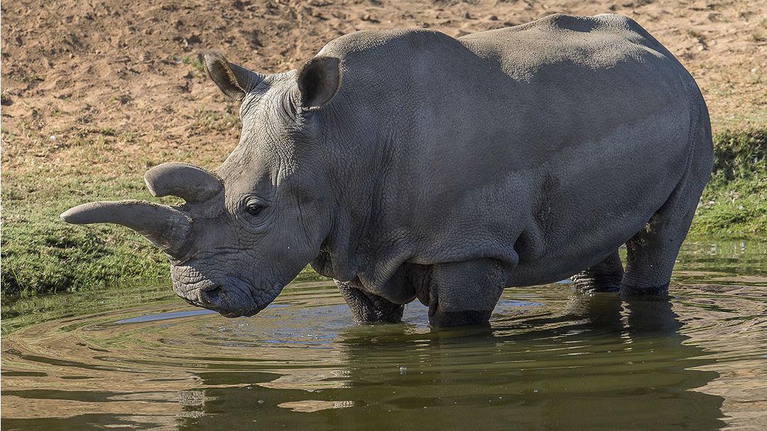 Nola the Rhino