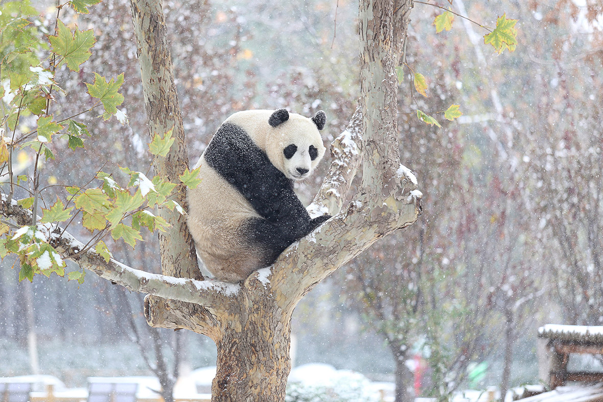 giant pandas are black and white to hide from predators