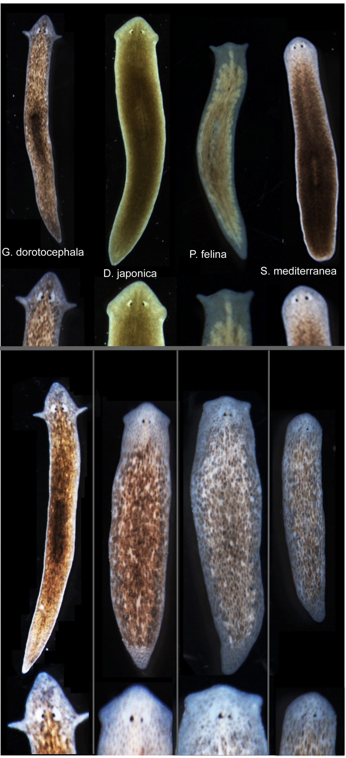 flatworm grows different head