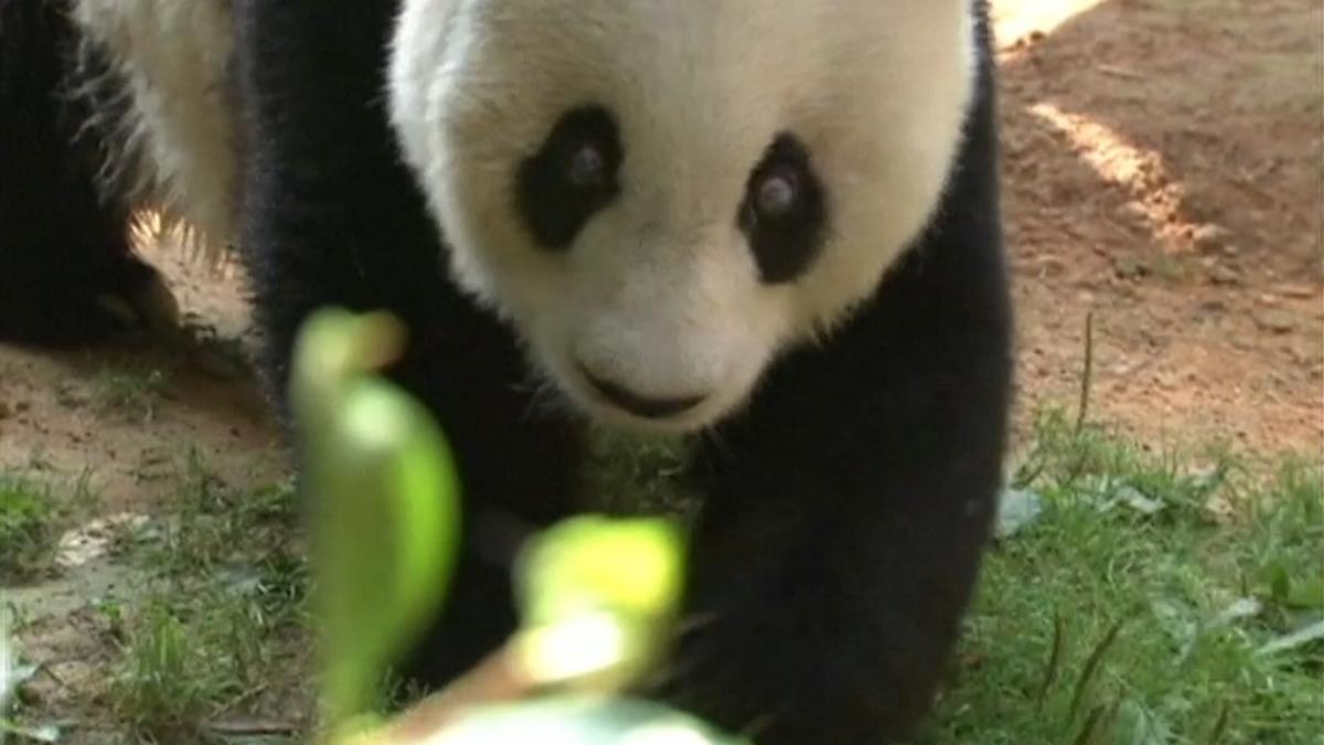 Panda Basi