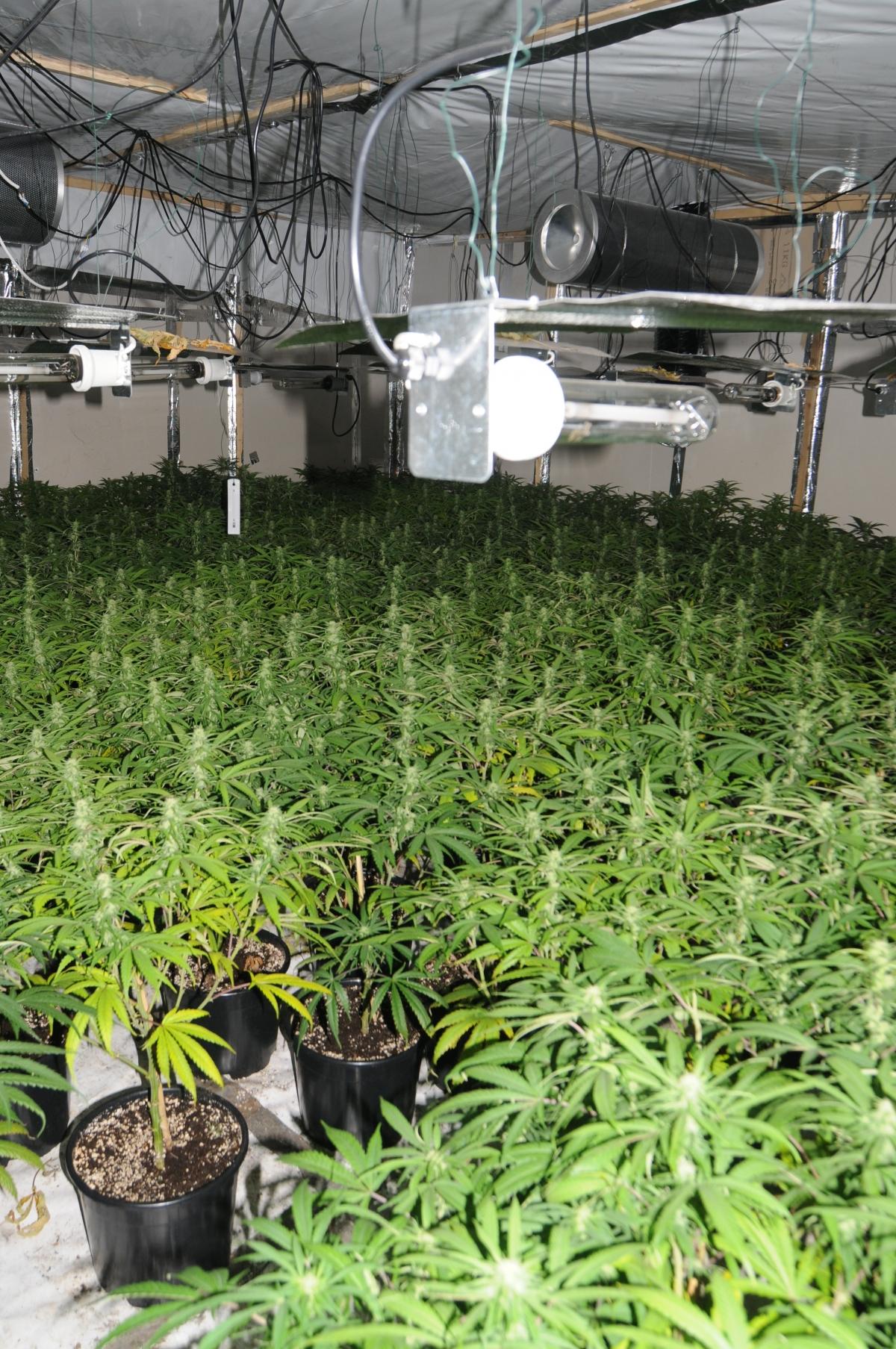 Cannabis farm in Manchester