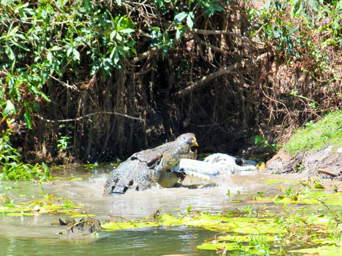 cannibal crocodile