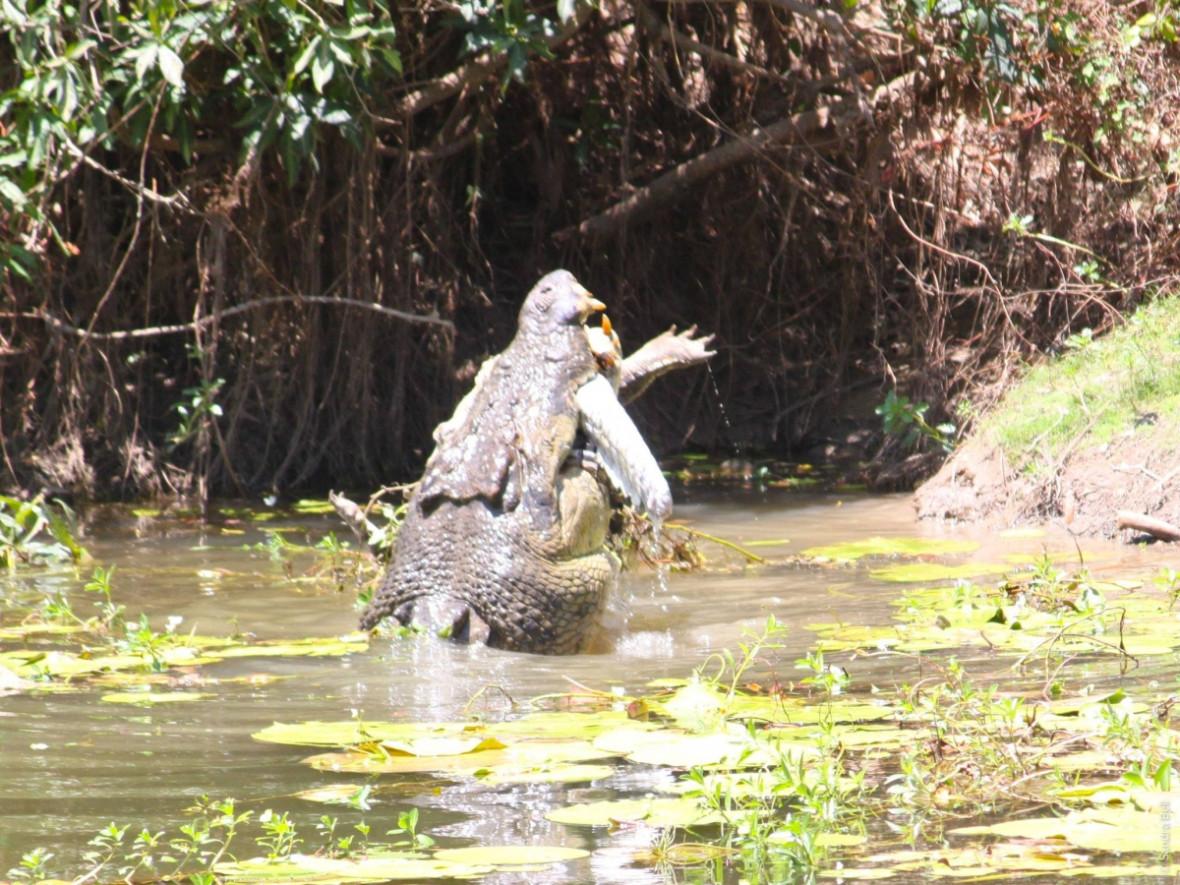 cannibal crocodile queensland