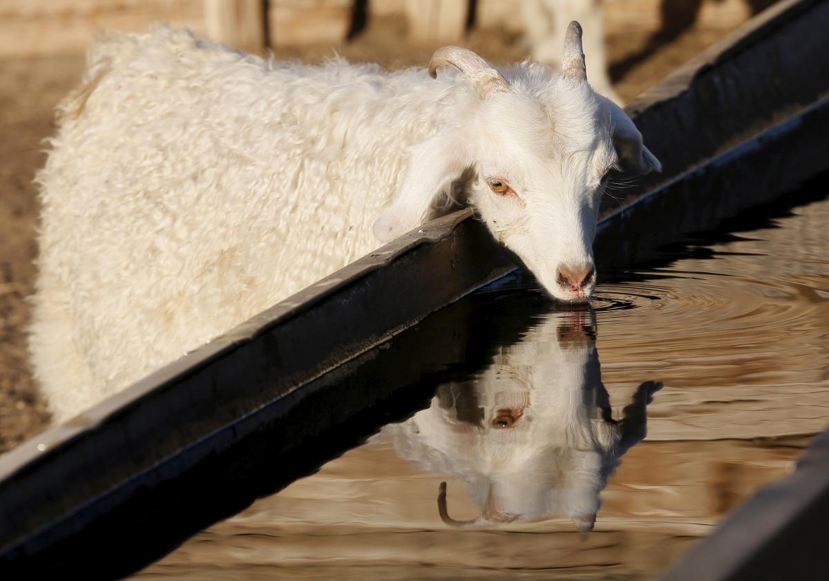 Goat, Cheder Lake