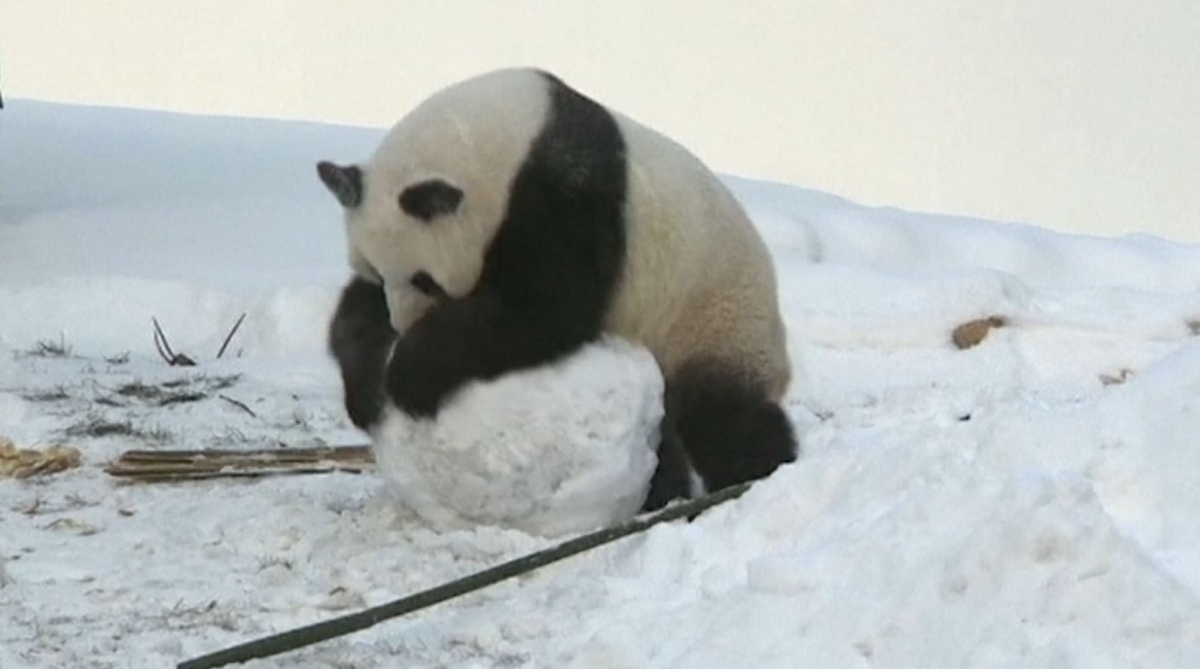 Cute pandas enjoy the snow