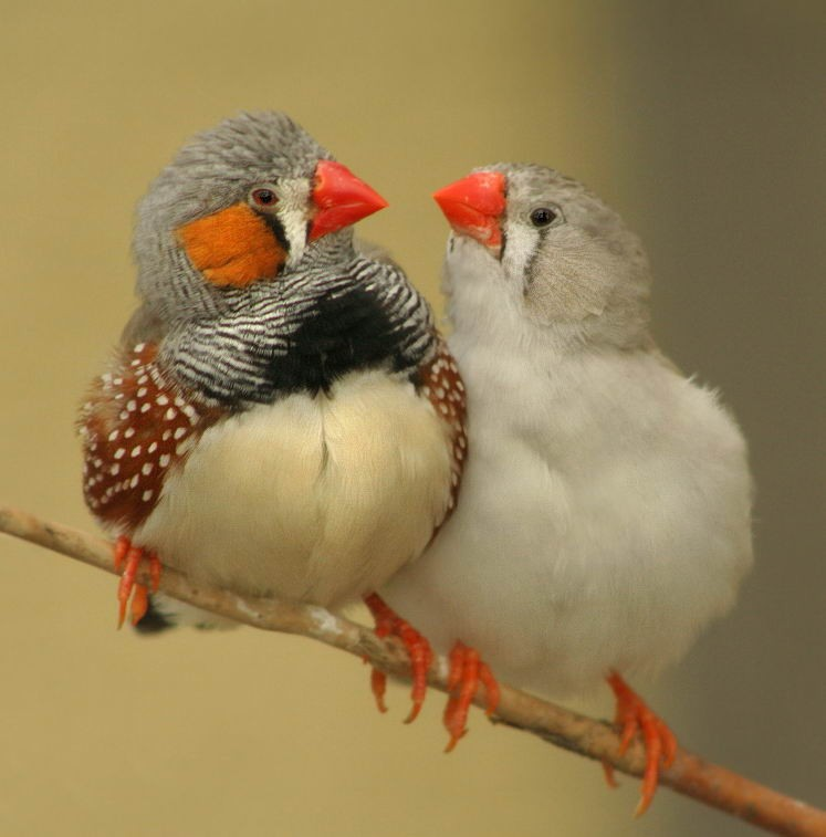 Gay Zebra Finch Couples Just as Loving as Straight