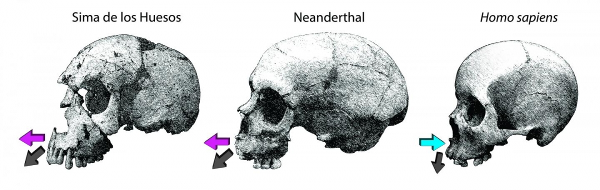 Projected jawbone in neanderthal