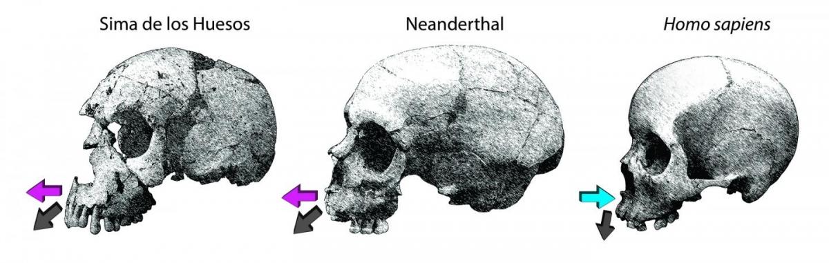 Projected jawbone in neanderthal