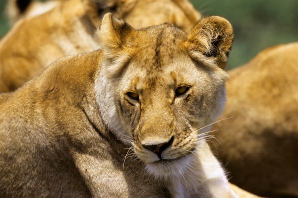 Lions poisoned in Kenya