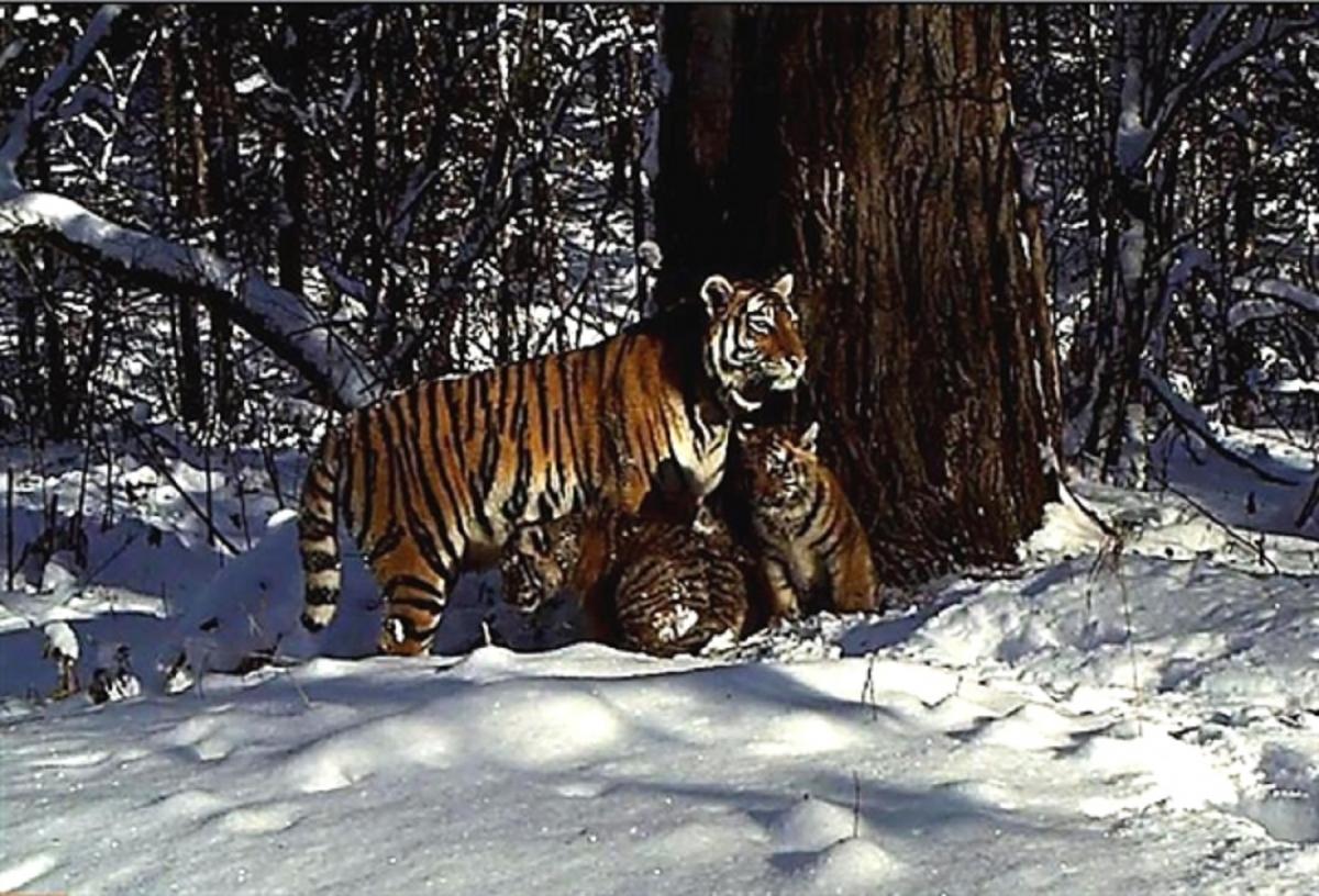 cinderella tiger