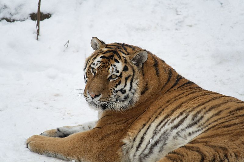 Bengal Tigers In The Wild