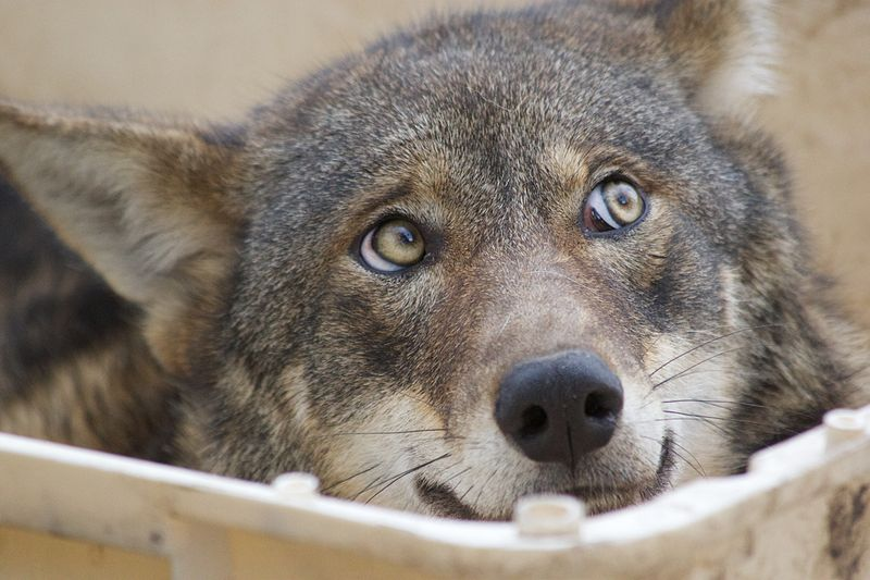 Effort To Prevent Coywolf Hybrid Wiping Out Critically