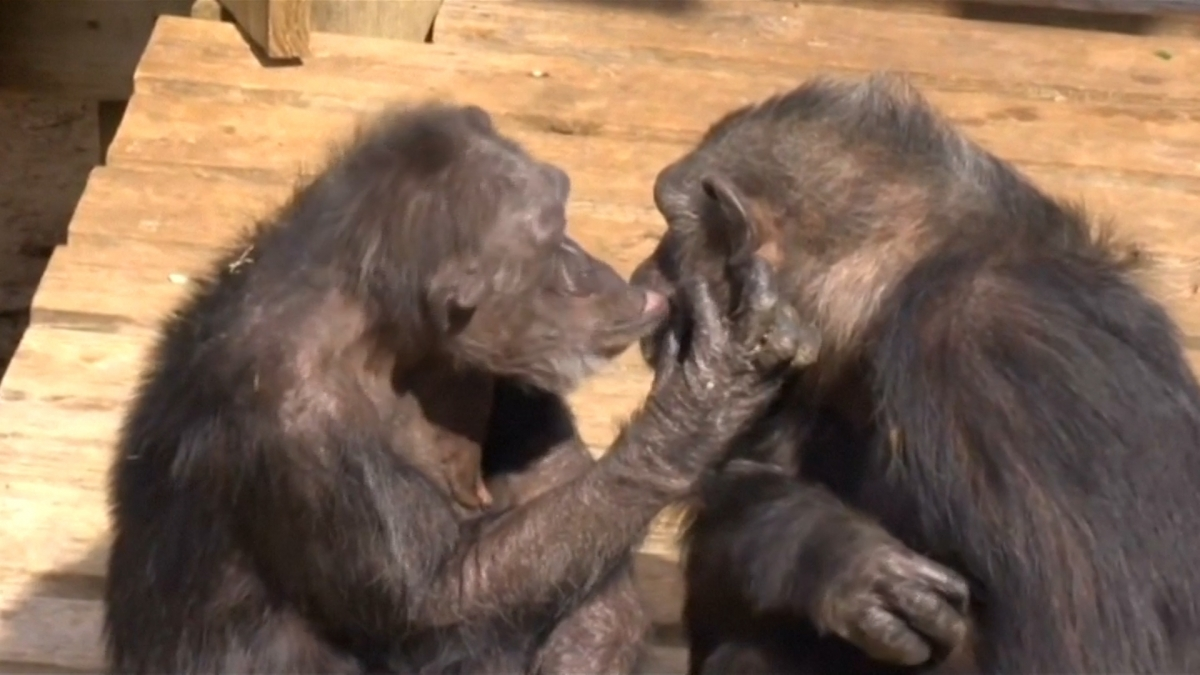 Chimpanzees retired from medical research