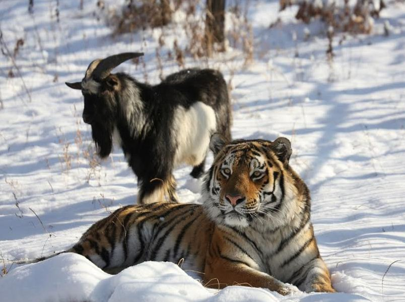 Amur tiger with Timur the goat