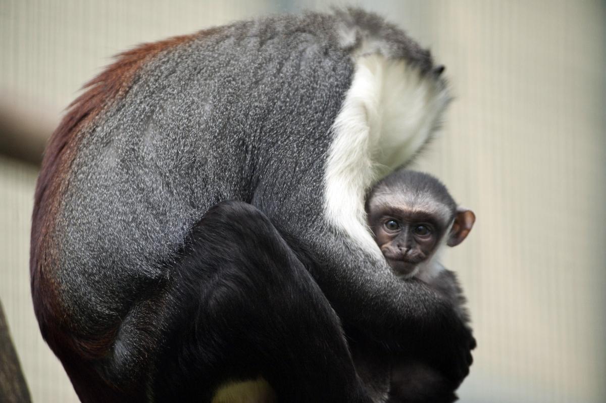 Roloway monkeys