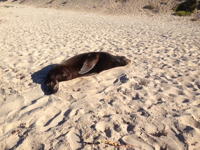 Stranded sea lion