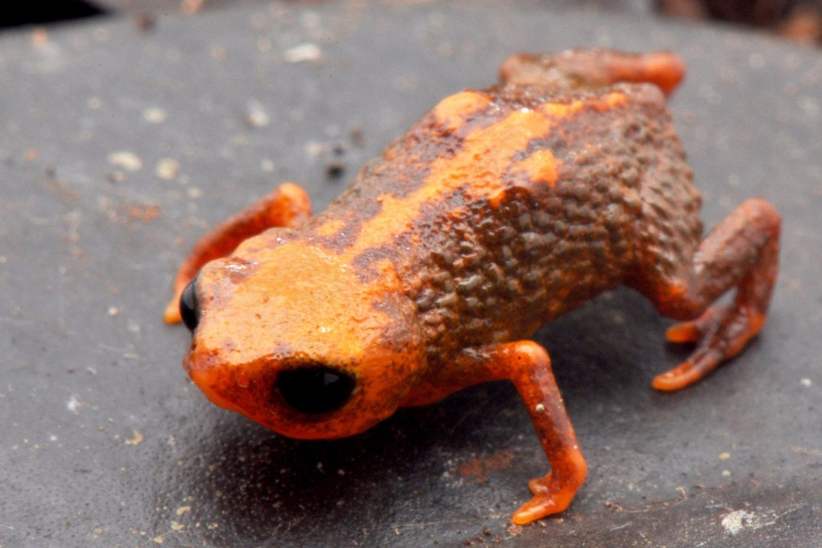 Saddleback Toad