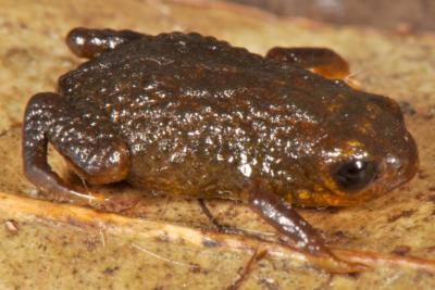 Saddleback Toad