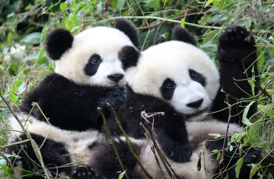 panda bear conservation essays Free essay: saving giant pandas giant pandas are one of most well known and   the giant panda (ailuropoda melanoleuca) lives in the bamboo forests of.