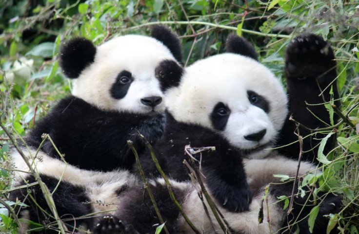 Giant panda cubs