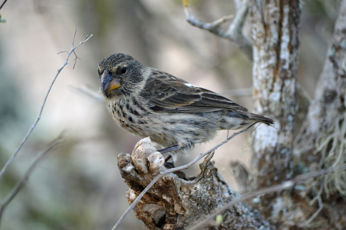 Female medium ground finch