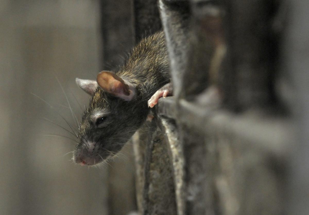 Rat mauls kid