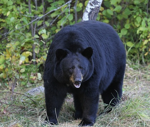 Woman Attacked By Black Bear While Running Marathon In New