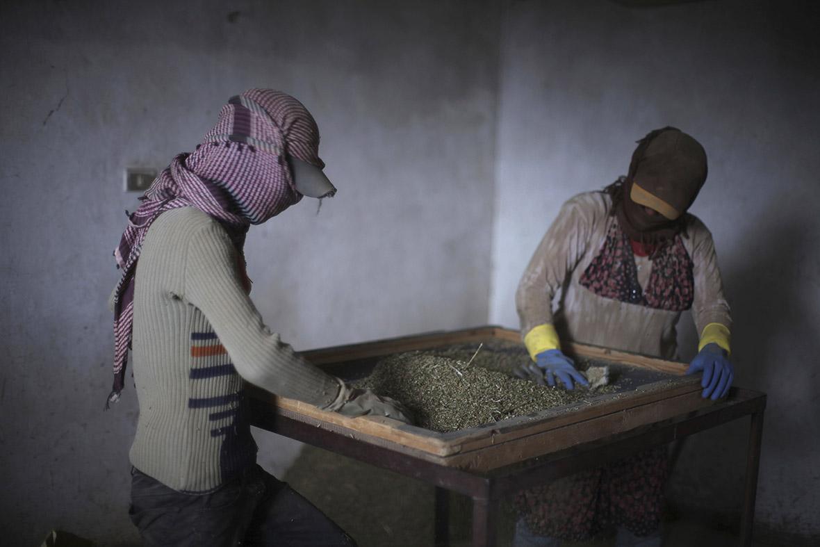 Syrian refugees farm cannabis in Lebanon