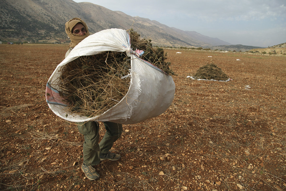 Syrian refugees farm cannabis in Lebanon