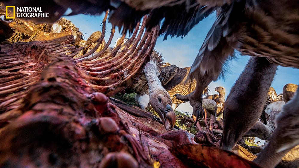 Vultures devouring a zebra