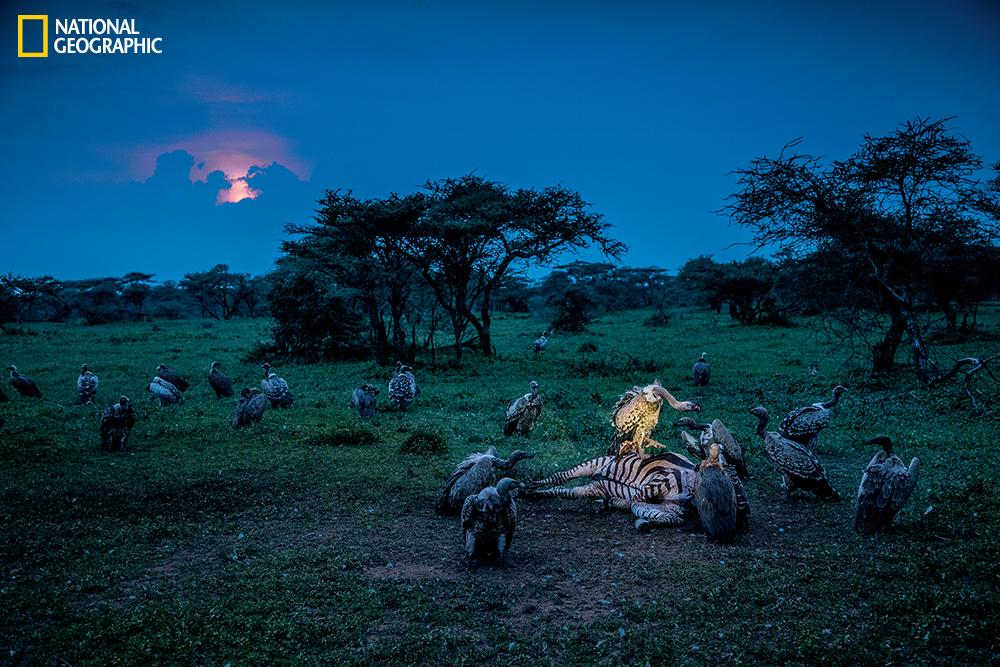 Vultures attack a zebra carcass