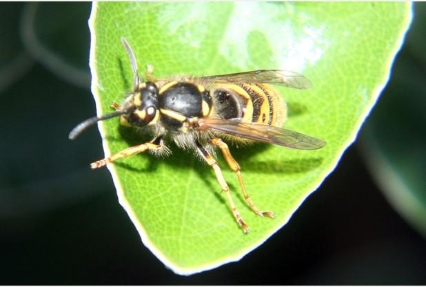 'Sunbathing' wasp