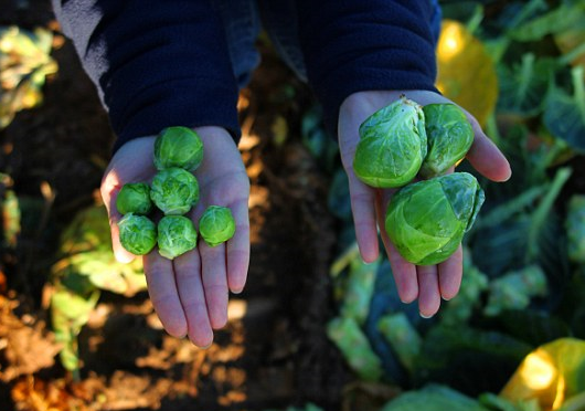 Giant brussel sprouts