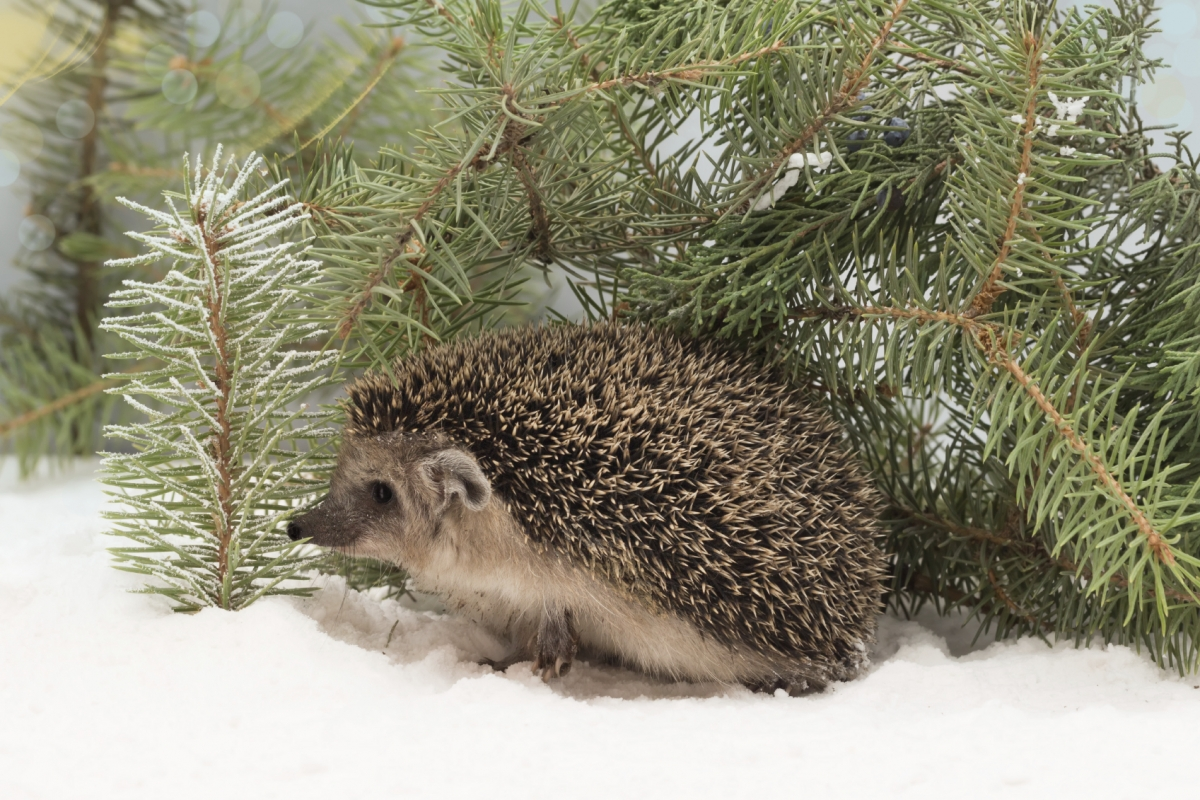 Snowy hedgehog