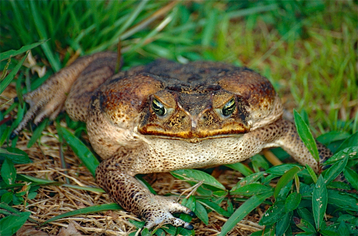 adult female cane toad