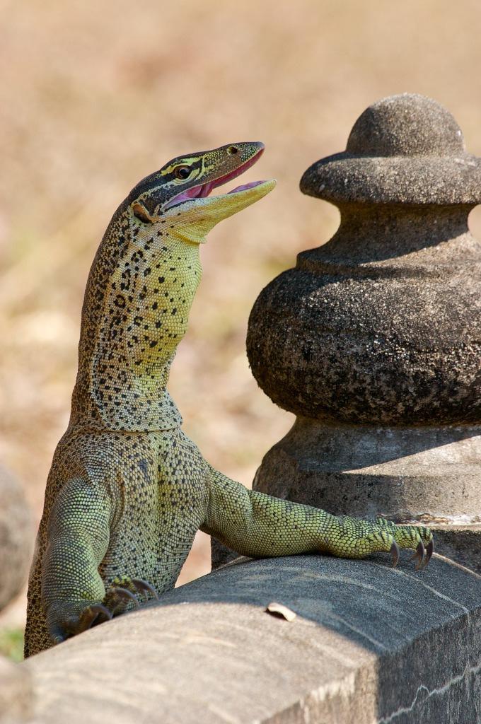 Yellowspotted monitor lizard