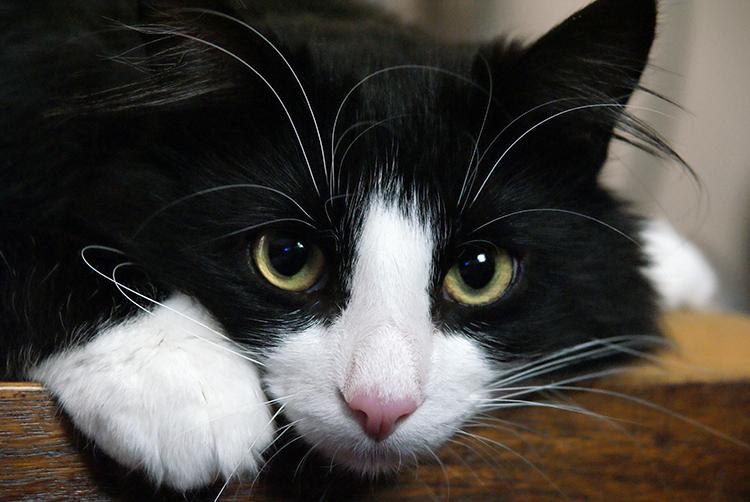 Norwegian Forest Cat For Sale Edinburgh
