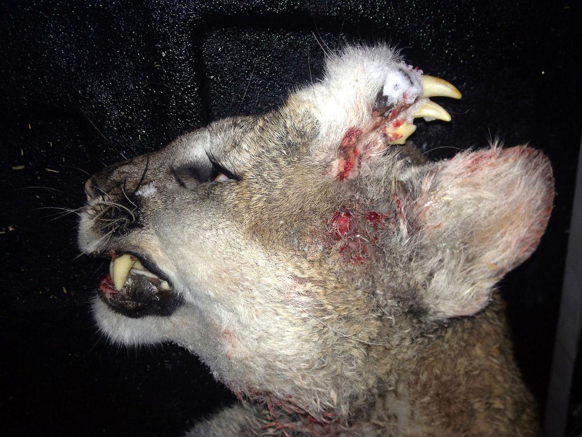 Deformed Cougar