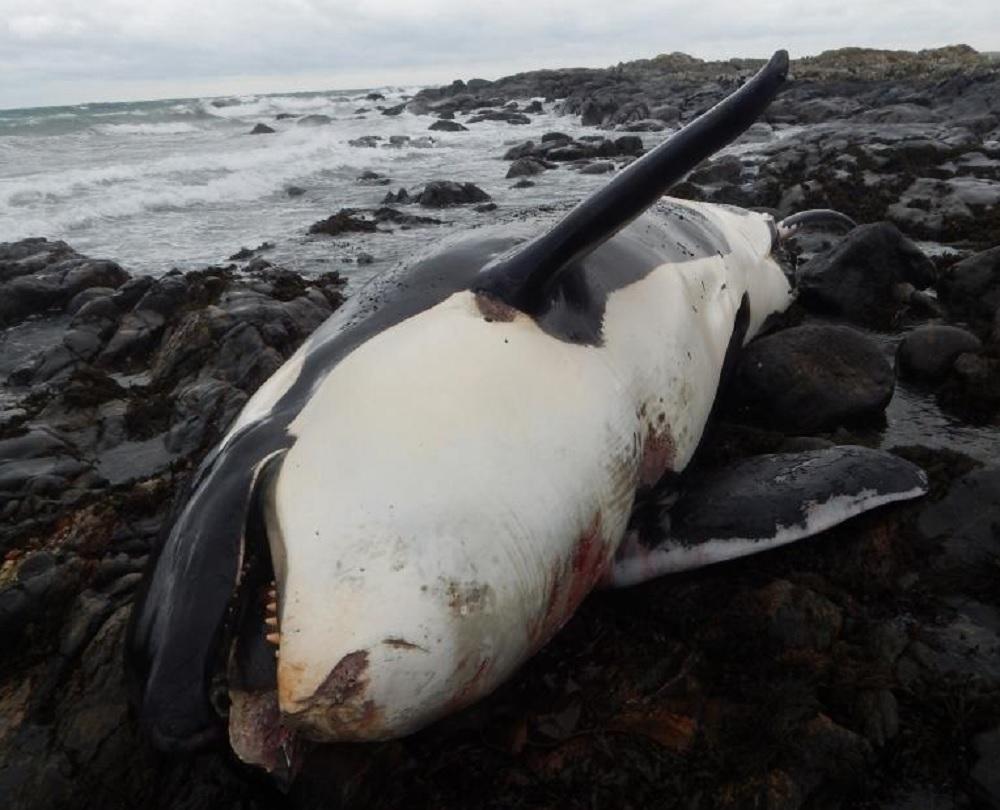 Lulu dead orca
